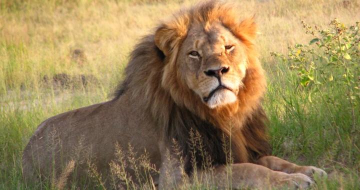 Cecil_the_lion